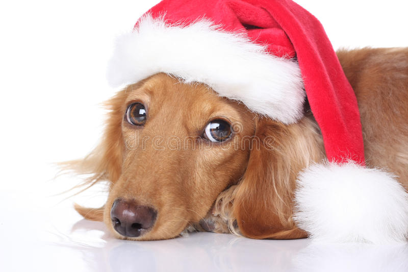 Santa dog royalty free stock image