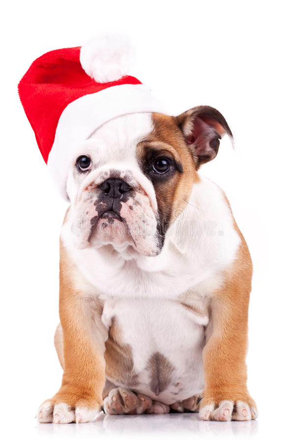 Santa english bulldog puppy sitting royalty free stock image