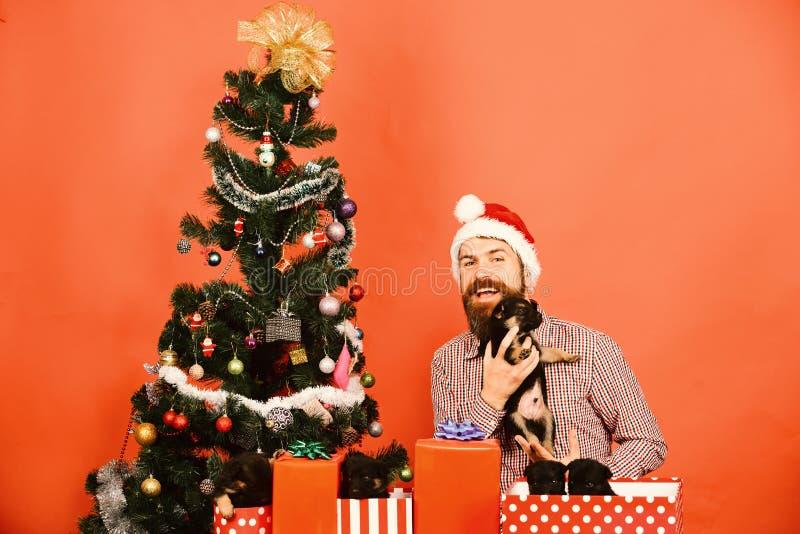 Santa holds little dogs near Christmas tree. New year gift stock photos