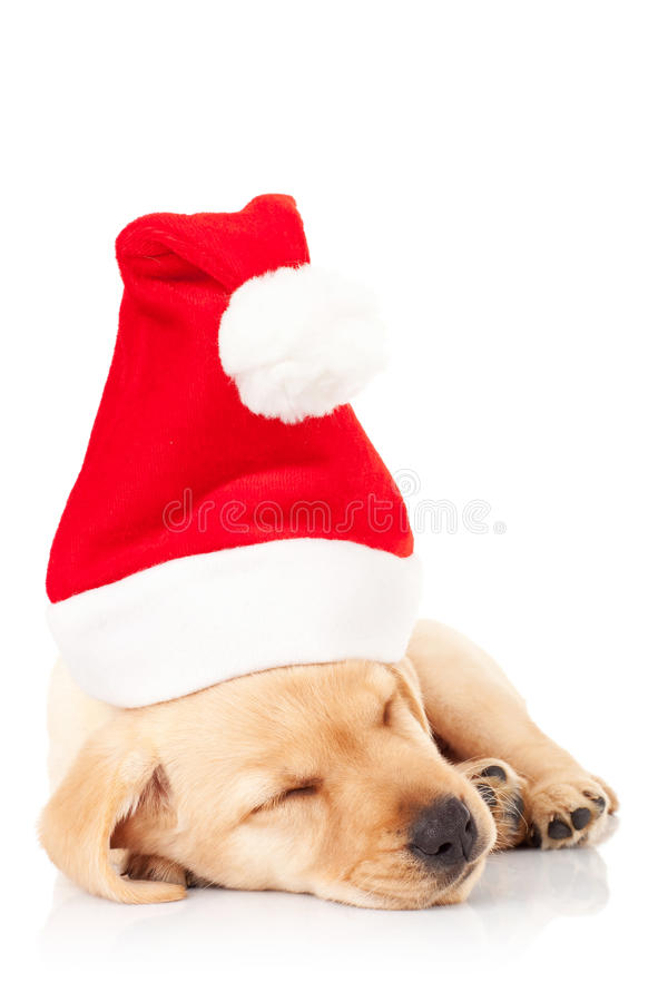 Santa labrador puppy sleeping stock image