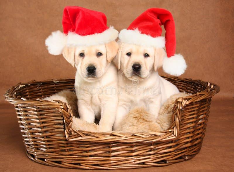 Santa puppies. Two yellow lab Christmas puppies wearing Santa hats stock photography