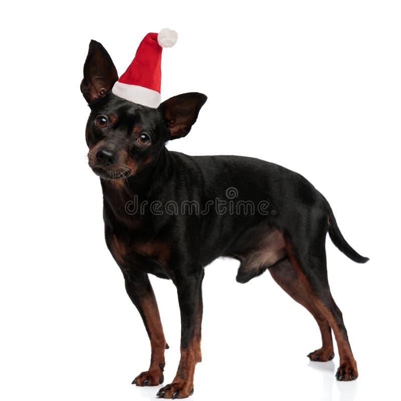 Santa puppy posing on white background stock photography