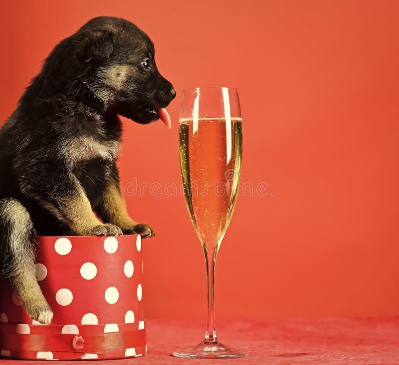 Santa szczeniak przy choinką w teraźniejszości pudełku Psi rok, zwierzę domowe na czerwonym tle obrazy royalty free