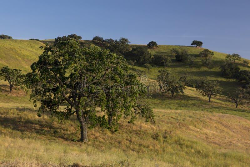 Santa Ynez wiosny pole dęby i obszary trawiaści obrazy stock