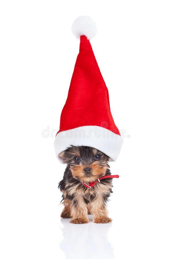 Download Santa yorkie stock photo. Image of small, happy, canine - 21617480