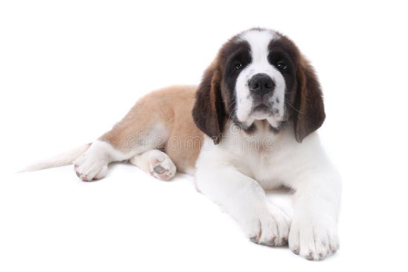 Santo dulce Bernard del perrito en un fondo blanco foto de archivo
