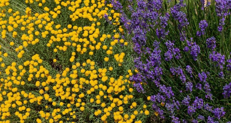 Santolina chamaecyparissus i purpura lawendowi kwiaty, tradycyjna dzika lecznicza roślina obraz stock