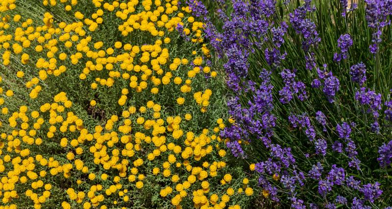 Santolina chamaecyparissus and purple lavender flowers, traditional wild medicinal plant. With yellow flowers stock image