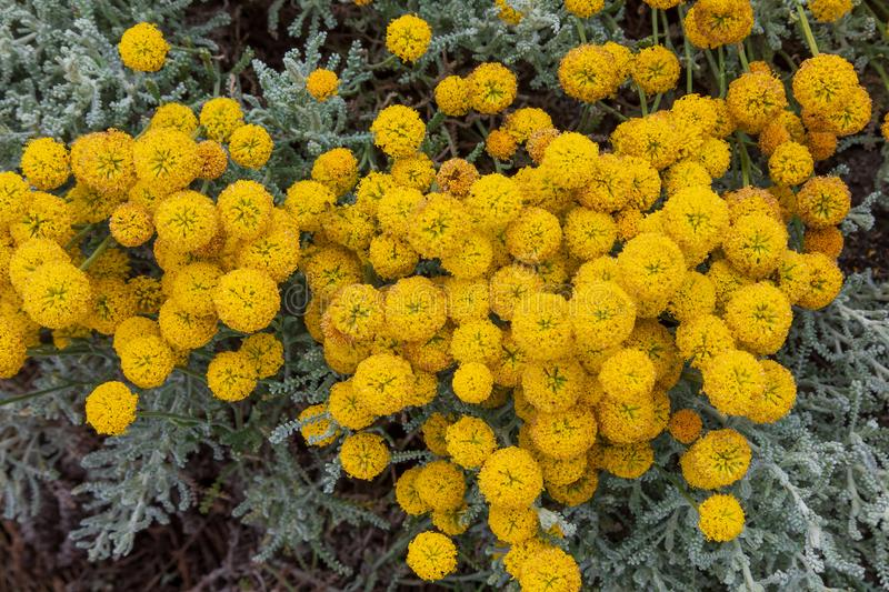 Santolina chamaecyparissus with yellow flowers royalty free stock photos