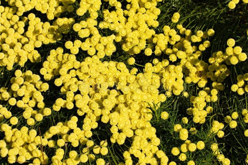 Santolina flowers royalty free stock images