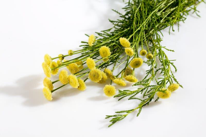 Santolina vert, herbe culinaire photos stock