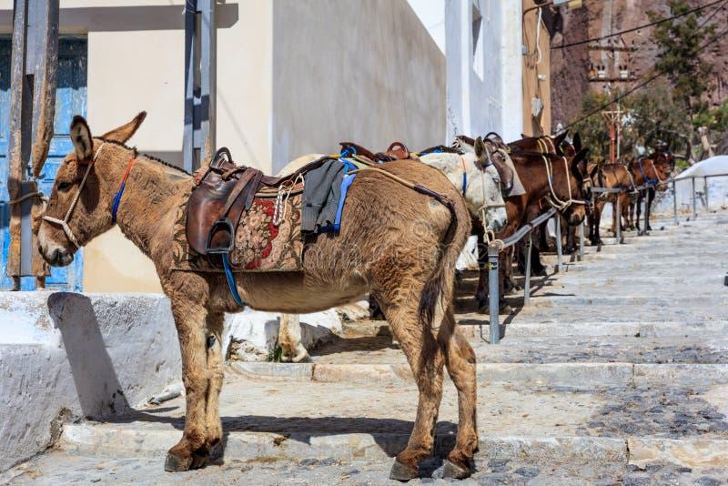 Santorini ö, Grekland - åsnor på Fira port fotografering för bildbyråer