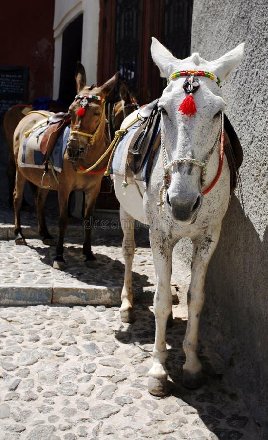 santorini ослов стоковое фото