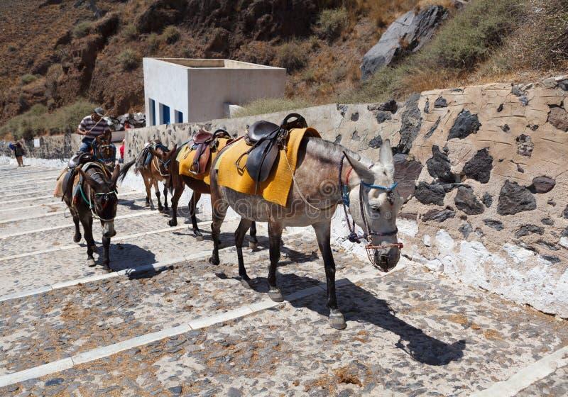 Santorini Donkeys stock images