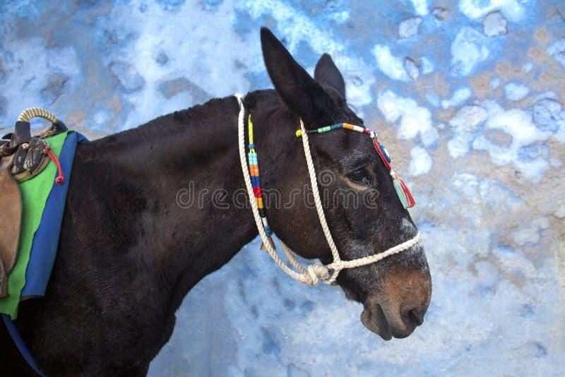 Santorini-Esel - Symbol der Insel Santorini, Thira, Griechenland Esel in Fira auf Santorini im ägäischen Traditioneller Grieche stockfotografie