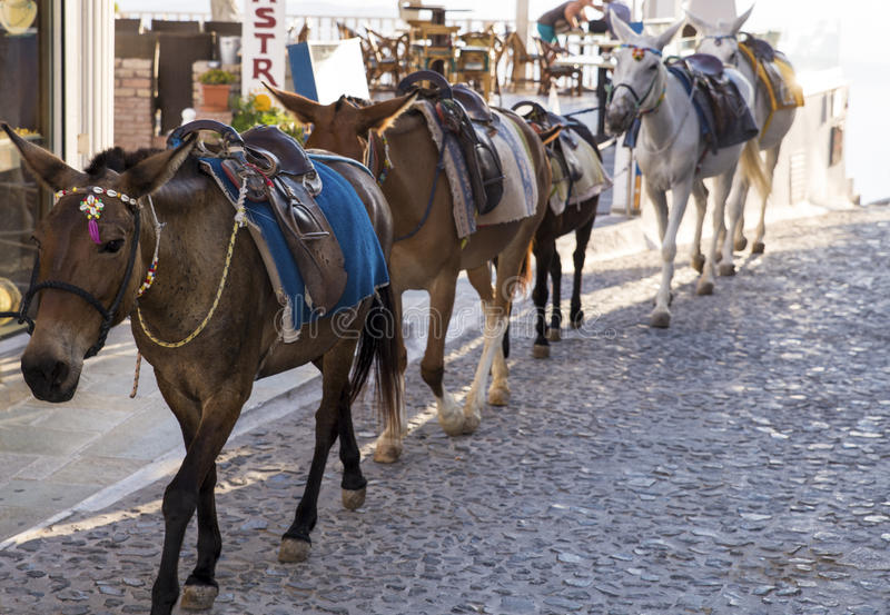 Santorini horses. A group of horses walking in row on Santorini streets stock photography
