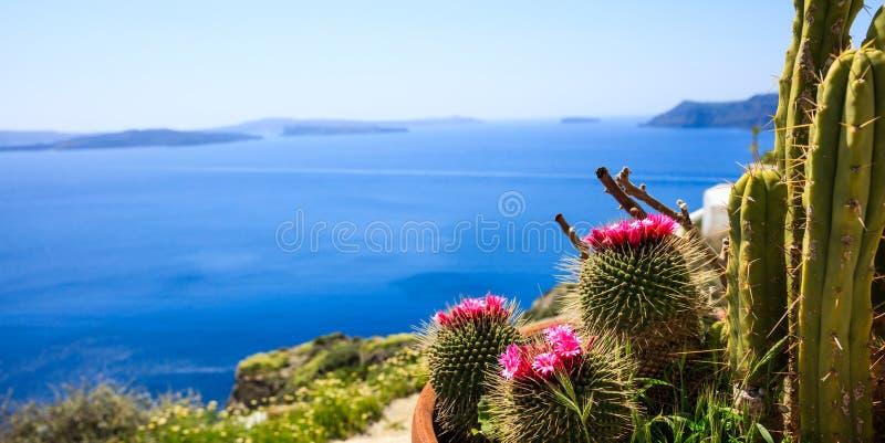 Santorini-Insel, Griechenland - blühender Kaktus auf Seehintergrund stockfotos