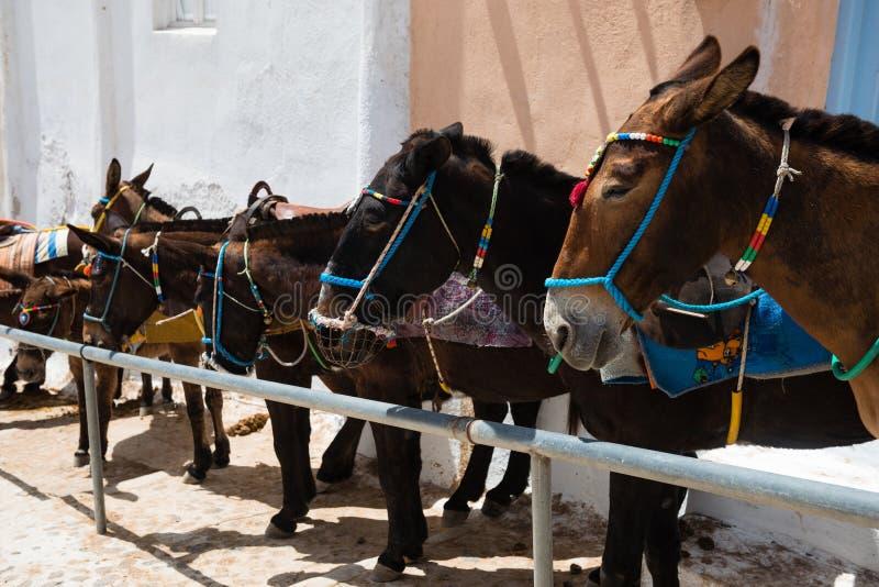 Santorini osły, Grecja zdjęcie royalty free