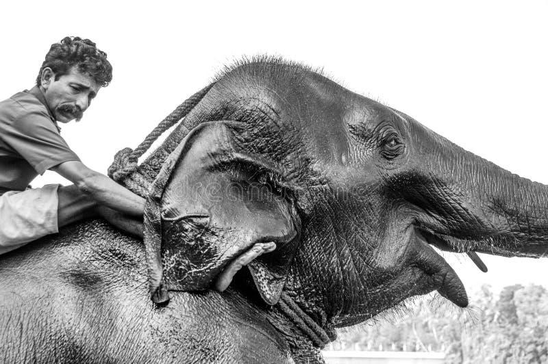 Santuário do elefante de Kodanad - banho do elefante em andamento com os depositários que lavam atrás das orelhas - preto e branc foto de stock