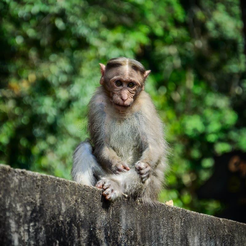 Santuario de fauna admitido mono divertido de Periyar imagenes de archivo