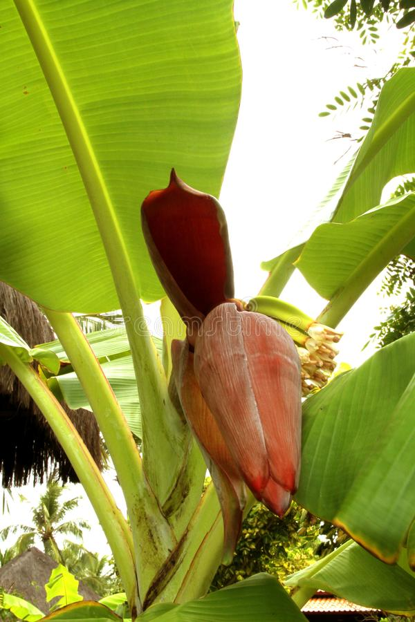 Sao Paulo Brazil de la hoja de la vitamina de la comida del campo de la agricultura del árbol de la flor del plátano fotos de archivo libres de regalías