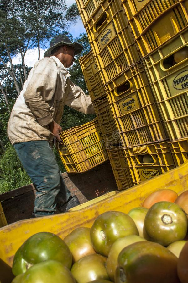 Worker load tomato truck stock photography