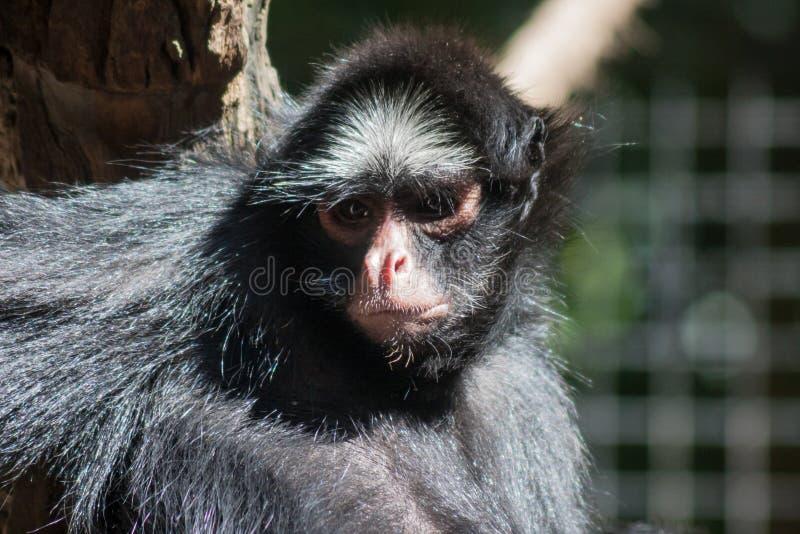 Sao Paulo Brazil di Itatiba della scimmia immagine stock libera da diritti