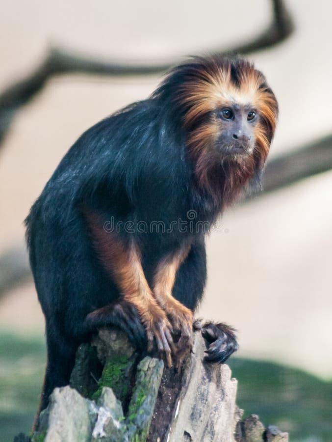 Sao Paulo Brazil di Itatiba della scimmia immagini stock libere da diritti