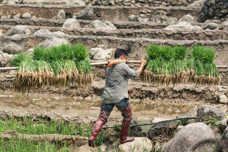 Sapa, Βιετνάμ - το Μάιο του 2019: Το βιετναμέζικο άτομο φέρνει το υλικό φύτευσης ρυζιού στο TA Van village στοκ εικόνα