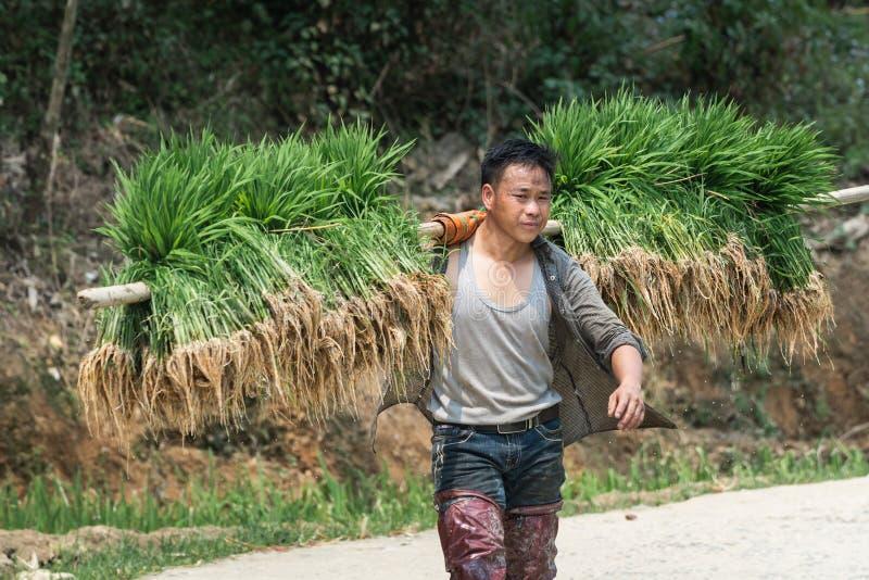Sapa, Βιετνάμ - το Μάιο του 2019: Το βιετναμέζικο άτομο φέρνει το υλικό φύτευσης ρυζιού στο TA Van village στοκ εικόνες