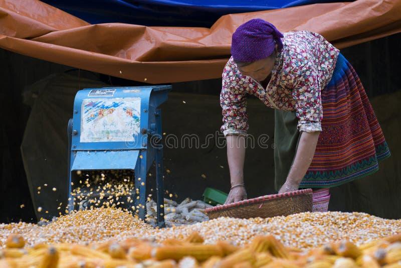 Sapa, Lao Cai, Vietnam - 08 16 2014: Vietnamese Hmong-vrouwenlandbouwer die met graan in een dorp van Sapa, Lao Cai, Vietnam werk stock foto's