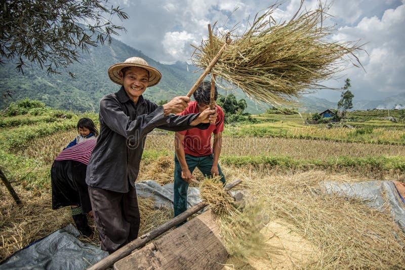 Sapa, Vietnam -13 im September 2014 - Landwirte, die eigenhändig Reis in einem ländlichen Gebiet von Sapa Vietnam trennen stockfoto