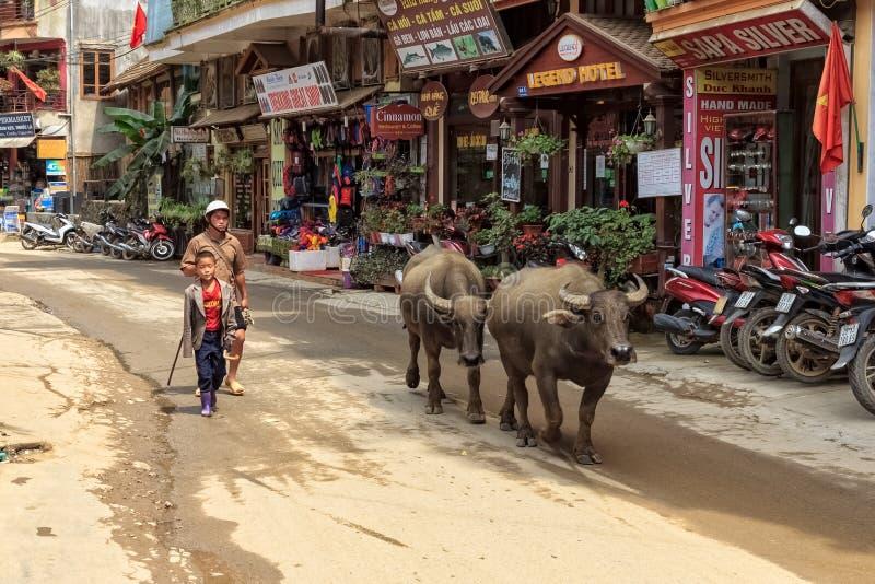SAPA, VIETNAM: Unidentified local man walks with his water buffalo stock photography