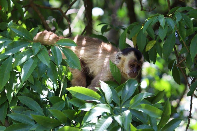 Sapajus apella monkey on forest stock photo