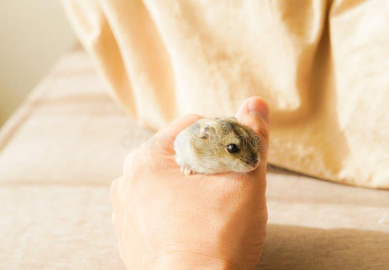 Saphir bleu de hamster de Djungarian image libre de droits