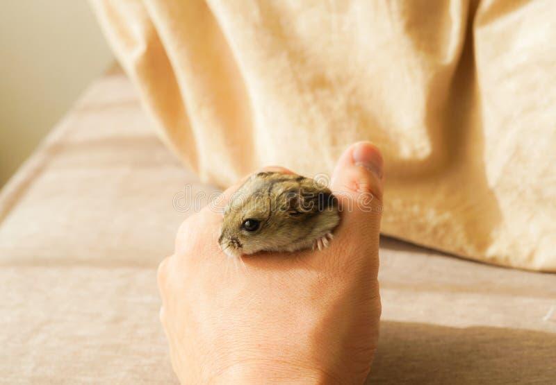 Saphir bleu de hamster de Djungarian photo libre de droits