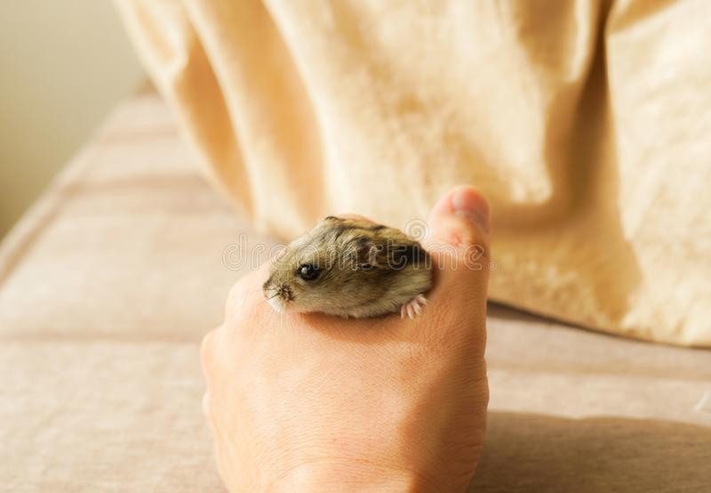 Saphir bleu de hamster de Djungarian photographie stock