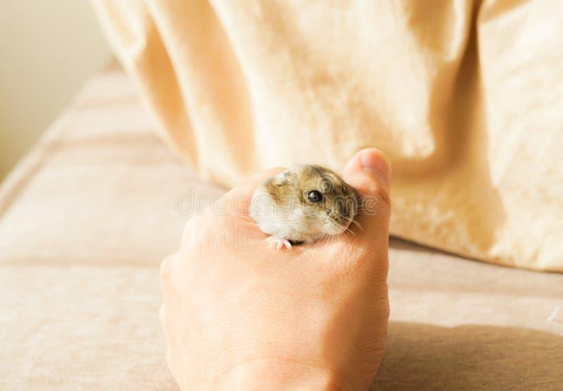 Saphir bleu de hamster de Djungarian images libres de droits