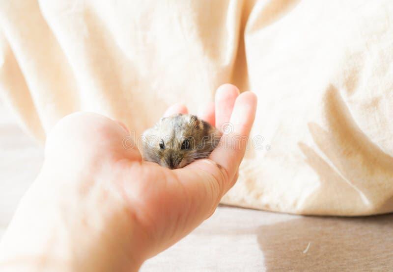 Saphir bleu de hamster de Djungarian photo stock