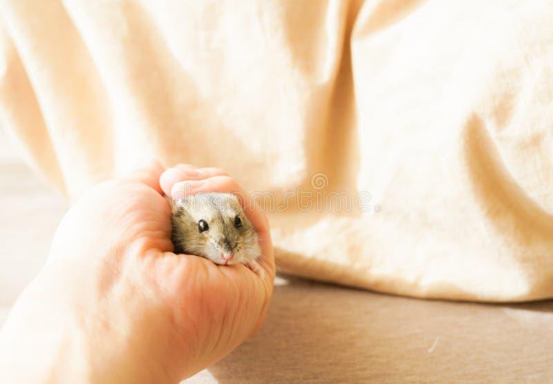 Saphir bleu de hamster de Djungarian images stock