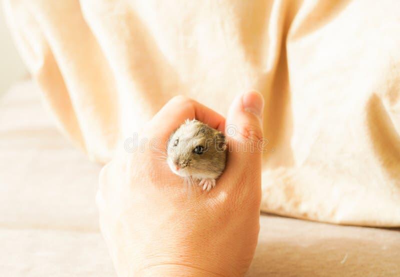 Saphir bleu de hamster de Djungarian photos stock
