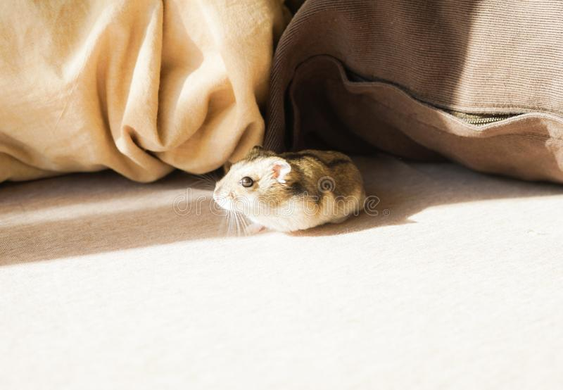 Saphir bleu de hamster de Djungarian image stock