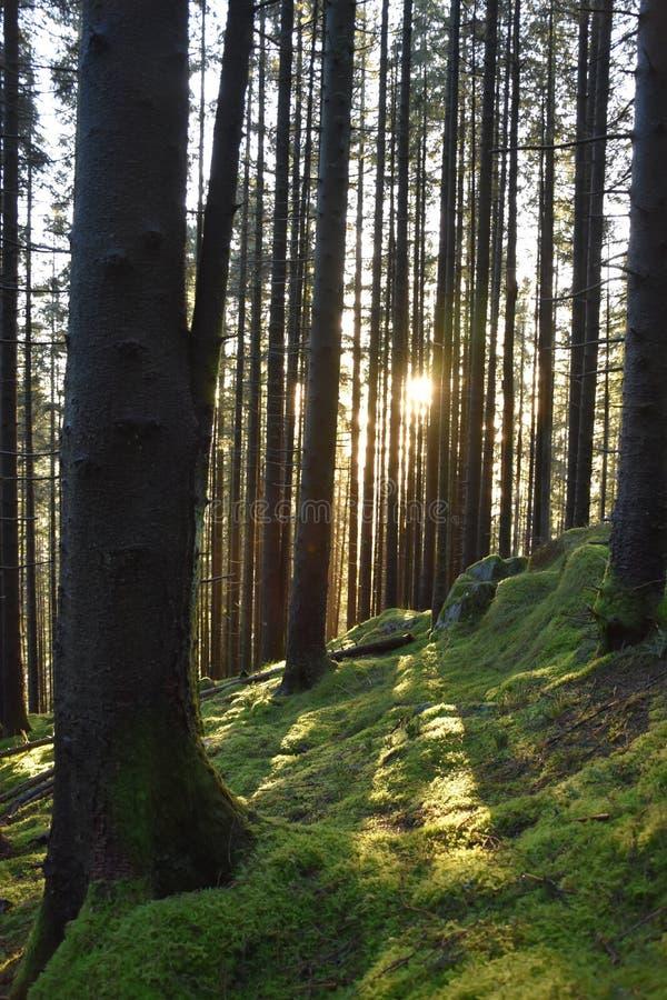 Sapin, coucher du soleil, janvier, mousse, siluette, la terre, vert, vertical photo stock