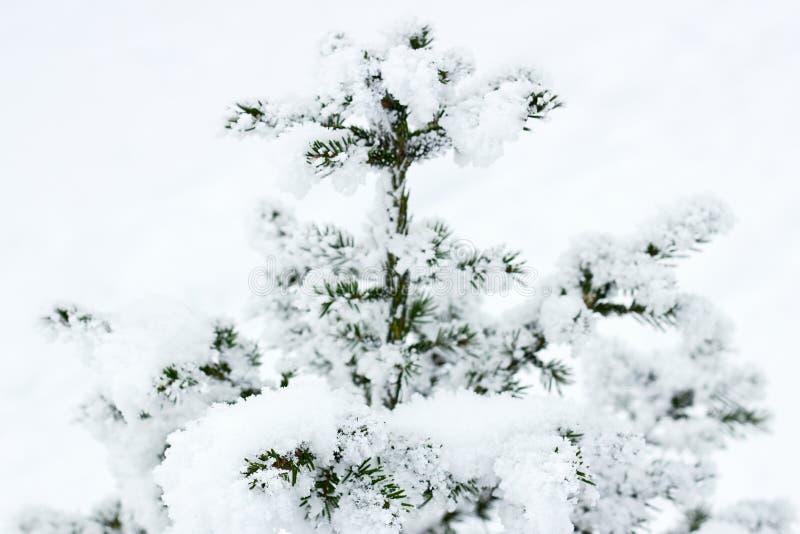 Sapin couvert de neige après les chutes de neige dehors dans la forêt sur le fond neigeux blanc, l'espace de copie photo libre de droits