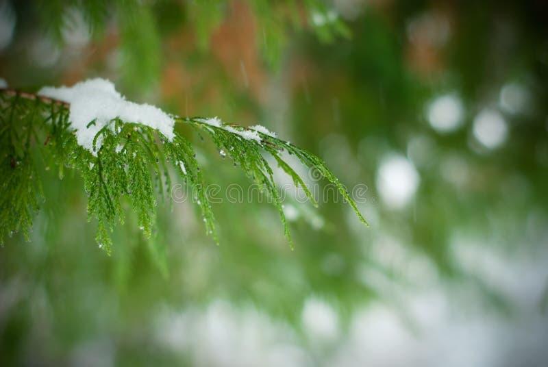 Sapin de l'hiver images stock