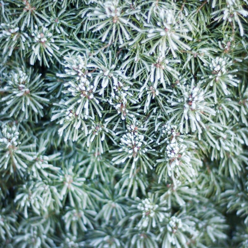 Sapin-pointeaux figés Nature en hiver image libre de droits