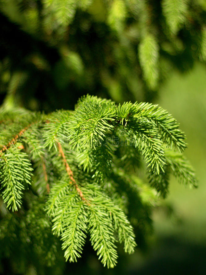 sapins images stock