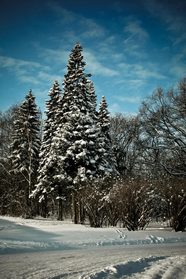 sapins photographie stock