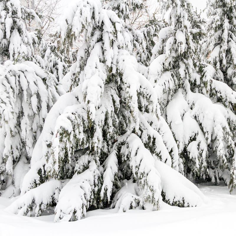 Sapins chargés avec la neige photos libres de droits