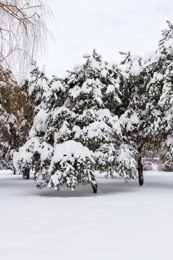 Sapins chargés avec la neige photographie stock libre de droits